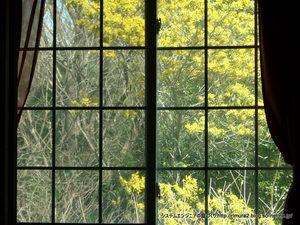 窓からのミモザ