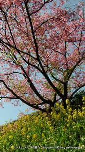 桜(はままつフラワーパーク)