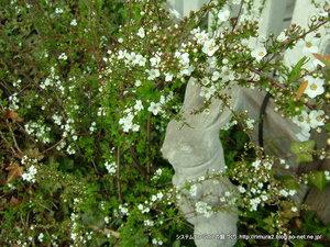 ユキヤナギの狂い咲き