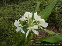 ジンジャーの花(白)